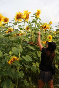 Stacy Thomas uses shears to harvest a sunflower