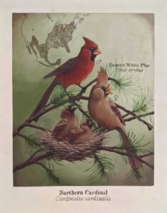 A painting of cardinals showing where they live and the differences between male and female cardinals
